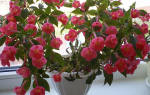 Ахименесы — правила выращивания и ухода для пышного цветения, видео