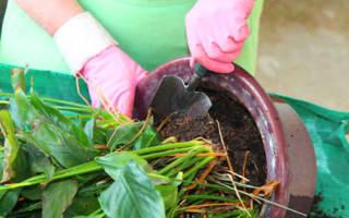 Пересадка антуриума после покупки — подготовка почвы, выбор горшка, видео