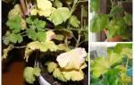 Почему у пеларгонии желтеют листья, как бороться с болезнями пеларгонии, видео