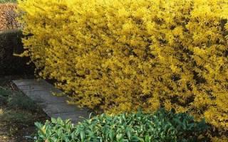 Живая изгородь — из чего лучше сделать, какие кустарники, растения, время посадки, обрезка, видео