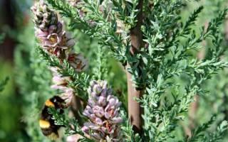 Мирикария лисохвостная — посадка и уход за кустарником, видео