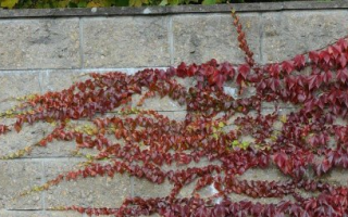 Девичий виноград — посадка и уход, размножение, разведение — видео