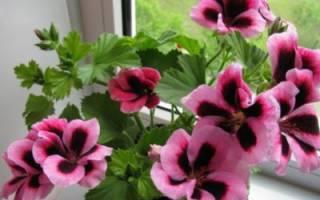 Королевская герань — уход в домашних условиях, проведение обрезки для пышного цветения, размножение черенками, фото, видео