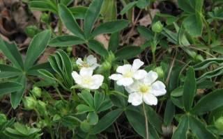 Лапчатка белая — особенности растения, посадка и уход, видео