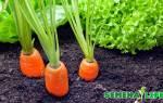 Семена моркови — сроки и правила сбора посевного материала, видео