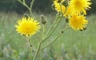 Полезные свойства осота огородного — медонос, применение, видео