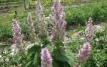 Выращивание шалфея мускатного — посадка и уход на грядке, видео