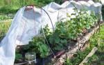 Как вырастить огурцы в теплице и ухаживать за ними, видео