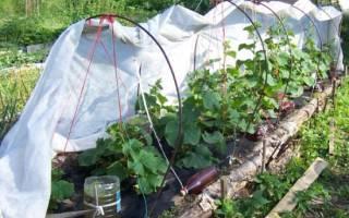 Правила выращивания огурцов в теплице — сорта, видео