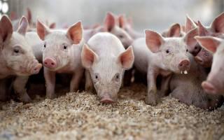 Полезные статьи для фермеров о свиньях