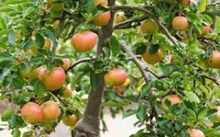 Прививка яблони летом зелеными черенками, в расщеп, на дичку + видео