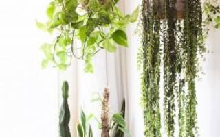 Сциндапсус лиана — выращивание дома, уход, освещение, пересадка, размножение, болезни и вредители, видео