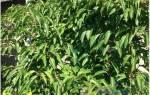 Как отличить мужское растение актинидии от женского, видео