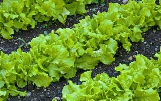 Посадка салата в открытый грунт: выбор места, посев, уход, подкормки, видео