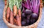 Когда убирать морковь и свеклу — рекомендации по срокам сбора урожая и хранению, видео