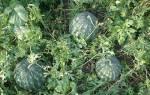 Арбузы в открытом грунте — правила выращивания, формирования плети, видео