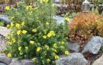 Лапчатка кустарниковая — уход и выращивание, фото и описание сортов, видео