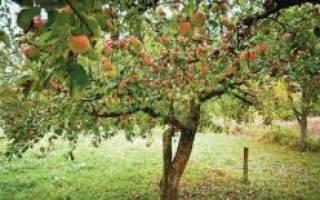 Плодовые деревья летом — внесение удобрений после плодоношения, видео