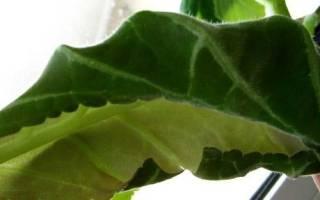 Почему у глоксинии скручиваются листья: причины и методы решения проблемы, видео