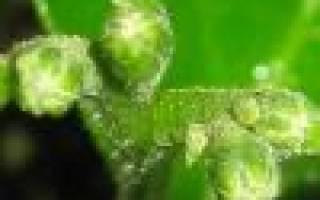 Микроцитрус австраласика — особенности растения, видео