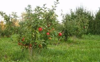 Фото сортов карликовых яблонь, особенности формирования кроны + видео