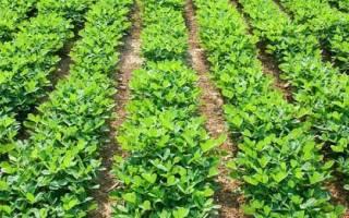Арахис — анализ ошибок при выращивании, посадка в открытый грунт, видео