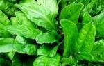 Щавель — посадка и уход в открытом грунте, когда сеять, подкормка, вредители и болезни, видео