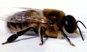 Трутни в пчелиной семье — зачем нужны, когда появляются, видео