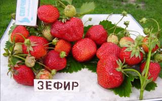 Земляника Зефир — описание сорта, фото, выращивание из семян, видео