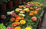 Сорта газании с фото — блестящая, крупноцветковая, гибридная, видео