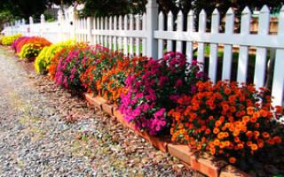 Как выращивать хризантемы дома из семян — видео