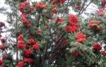 Рябина Невежинская — характеристики сорта, вкус ягод, видео