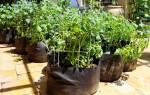 Выращивание картофеля в мешках — секреты, советы, видео