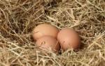 Разведение кур с нуля, от подготовки курятника до поучения яиц, видео