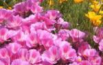 Выращивание кларкии изящной — когда сажать семена, посадка и уход