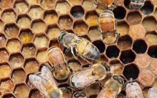 Болезни пчел и их признаки — варроатоз, нозематоз, акарапидоз, аскофероз, партеногенез, применение алимакса, лозеваля, хвойного экстракта, видео