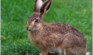 Как избавиться от зайцев на даче, способы защиты участка