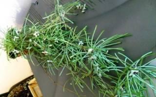 Хойя Ретуза — особенности растения, условия содержания, видео