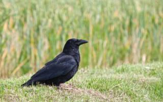 Вредители сада и огорода — вороны, способы борьбы и методы предупреждения, видео