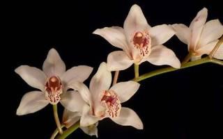 Орхидея Cymbidium — уход в домашних условиях, как цветет, видео