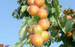 Колоновидный абрикос Звездный, описание, выращивание, видео