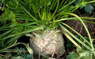 Корневой сельдерей — сроки посева семян, высадка в открытый грунт, видео