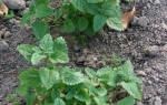 Сорта мелиссы — Исидора, Кадриль, Лимонная, Лоза, описание, видео