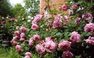 Что такое розы шрабы, особенности растений, лучшие сорта, видео