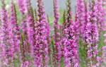 Лечебные свойства дербенника иволистного, описание растения