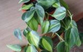 Филодендрон — особенность ухода после приобретения, видео