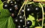 Черная смородина — обзор лучших сортов для выращивания на даче, видео
