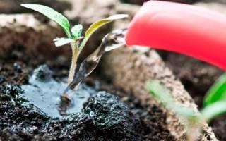 Как вырастить хорошую рассаду помидор — подкормка, видео