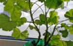 Герань — обрезка для пышного цветения весной в домашних условиях, видео