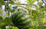 Арбузы в теплице — технология выращивания ягод в Сибири, видео